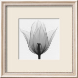 Triumph Tulip