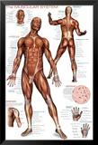 Système musculaire Poster en laminé encadré
