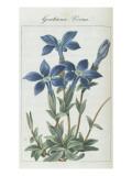 Almanach de Flore : Gentiane Verna