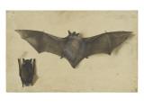 Une chauve-souris les ailes déployées  une autre les ailes repliées