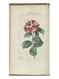 Almanach de Flore : Cam&#233;lia panach&#233;