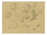 Une lionne couchée et sept études de sa tête