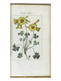 Almanach de Flore : Oxalis Luteal