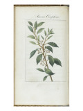 Almanach de Flore : Laurus Camphora