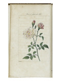 Almanach de Flore : Rose &#224; odeur de Th&#233;