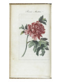 Almanach de Flore : Paonia Moutan