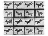 """Album sur la décomposition du mouvement : """"Animal locomotion"""", 1872/85.:  Ruade de l'âne Giclée par Eadweard Muybridge"""