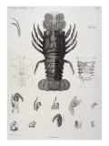Description de l'Egypte : Zoologie  crustacé : homard
