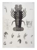 Description de l'Egypte : Zoologie  crustacé : homard