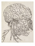 Cerveau  cervelet et nerfs crâniens de l'homme vus de côté