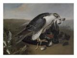 Faucon dévorant un oiseau