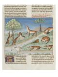 Le Livre de la chasse de Gaston Phébus : le renard et sa nature