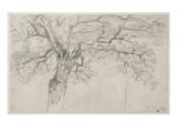 Etude d'un chêne