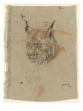 Etude d'une tête de lynx