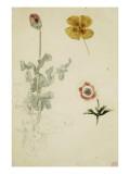 Trois études de fleurs: anémone  pensée  ; vers 1845-1850