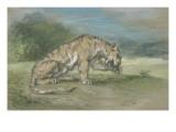 Tigre couché  tourné à droite  léchant une de ses pattes de devant