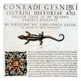 """Gesner  Manuscript """"Historiae Animalium""""  Book Ii: """"Quadrupedipus Oviparis"""""""