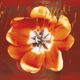 Tulip Fresco (red)
