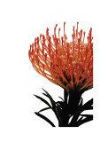 Orange Protea I
