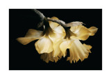 Sunning Daffodils