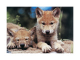 Spring Wolf Pups