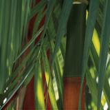 Bamboos  Costa Rica