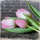 Poetry Tulips