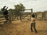 A Horse Tumbles over a Fence While Trying to Elude a Cowboy's Lasso