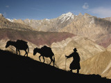 A Ladakhi and Pack Donkeys Pause on a Cliffside on a Himalayan Pass