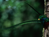 Male Resplendent Quetzal  Pharomachrus Mocinno Costaricensis  Peers from its Nest