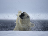 A Polar Bear Shakes Off the  Water as He Pulls Himself onto the Ice