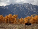 A Buffalo Grazing in Grand Teton National Park