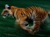 A Captive Young Tiger Runs across the Grass on Tiger Island