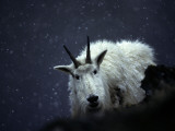 From its Craggy Winter Haunts  a Mountain Goat Peers at an Intruder