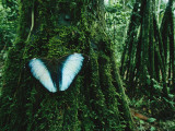 A Blue Morpho Butterfly on a Mossy Tree Trunk