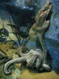 Octopuses Mate in a Tank Modeled after their Natural Habitat