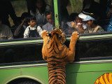 A Tiger  Intrigued by Tourists in a Bus  Peers Through a Bus Window