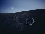 Moonglow Bathes a Caribou Rack and Skull in the Park