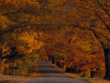 Sugar Maples Shade a Quite Country Road During Autumn