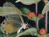 Close-Up of a Butterfly of the Callitaera Genus on a Melastomad Plant