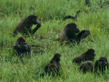 A Gorilla Family Feeding and Resting in the Mbeli Bai Clearing
