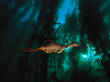 A Weedy Sea Dragon Paddles Through Emerald Jungles of Giant Kelp