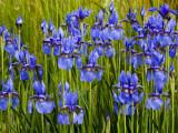 Siberian Iris in a Roadside Flower Bed