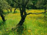California Poppies Growing Among Oak Trees