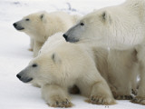 A Portrait of a Polar Bear Mother and Her Cubs  Ursus Maritimus