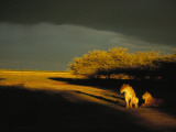 Two African Lionesses Resting in Late Afternoon Light