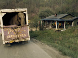 An Elephant Rides to the Next Show in the Back of a Circus Truck