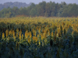Field of Sorghum Grown for Wildlife Habitat