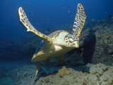 A Hawksbill Turtle Swims Just Above the Seafloor with Flippers Spread