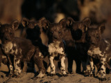 A Litter of African Wild Dogs